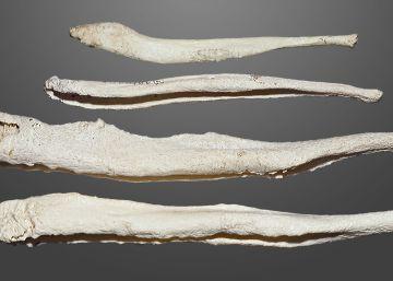 Per què els humans van perdre l'os del penis