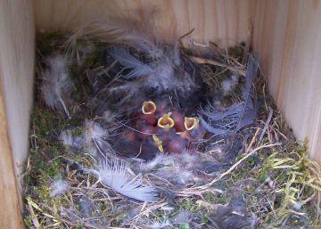 Las excursiones a la naturaleza perjudican la salud de los polluelos