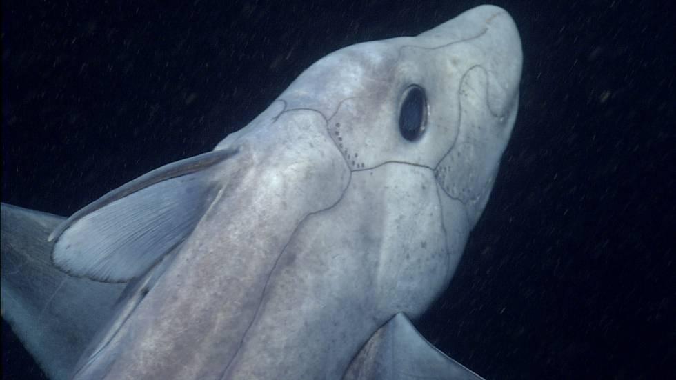 Vista de primer plano de una quimera azul de nariz puntiaguda. Los pequeños puntos alrededor de su cabeza se cree que son órganos sensoriales.