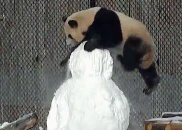 La pelea de un panda con un muñeco de nieve