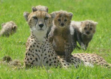 Las áreas protegidas no protegen a los guepardos
