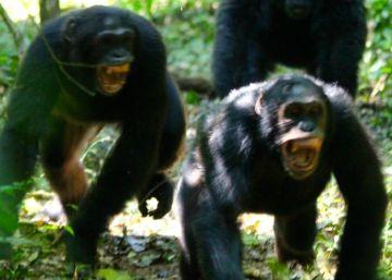 Los chimpancés en 'guerra' producen la hormona que activa la xenofobia
