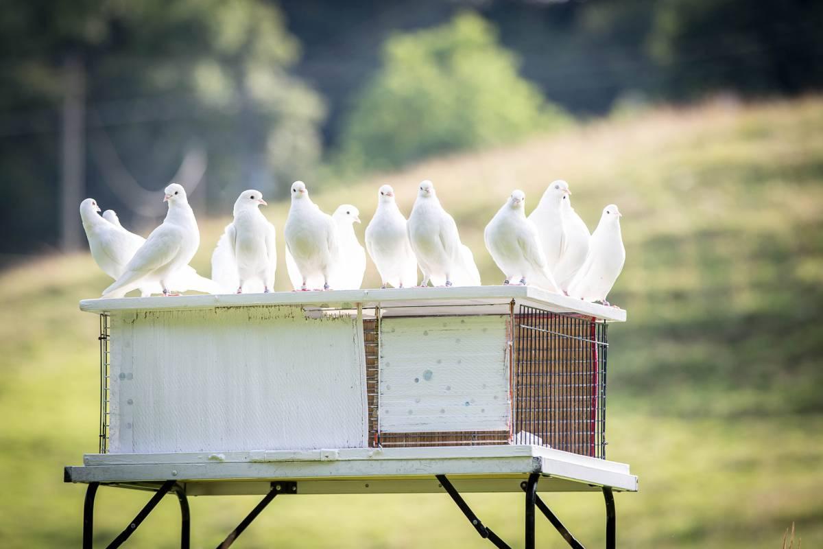 Pelos, saludos y palomas