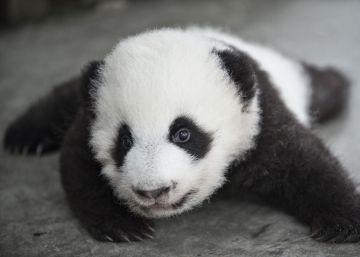 El oso panda, un paso más alejado de la extinción