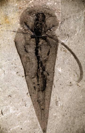 Fósil de 'Haplophrentis carinatus' del Burgess Shale.