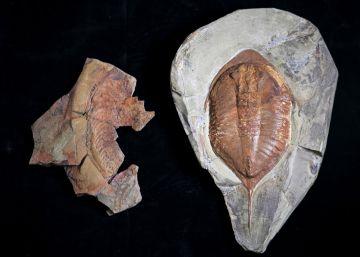 Así caminaba el fósil más famoso del mundo