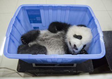 Así ha evitado China la extinción del oso panda
