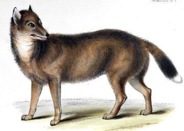 El 'lobo' de las Malvinas que desconcertó a Darwin en realidad se parecía más a un chacal