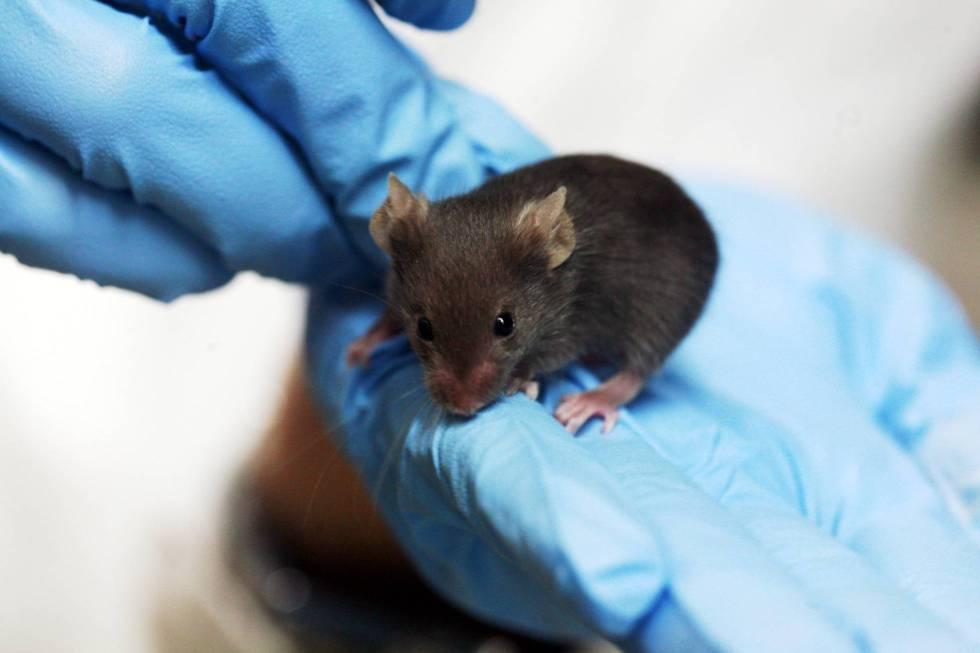 Los ratones siguen siendo imprescindibles para investigar enfermedades.