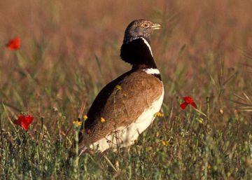 El sisón común, un ave habitual para nuestros abuelos que nuestros hijos pueden no ver