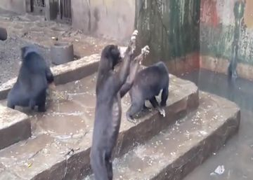 Un vídeo muestra a osos esqueléticos en un zoo de Indonesia
