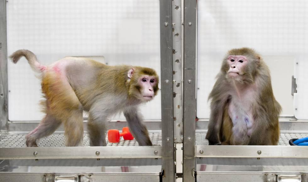 Un mono de 27 años que siguió la restricción calórica (izquierda) junto a otro de 29 que comió cuanto quiso.rn