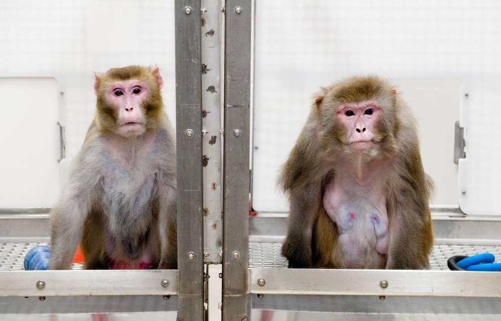 La fotografía muestra a un macaco que siguió una dieta baja en calorías. A la derecha, otro ejemplar, que comió todo lo que quiso y pudo.