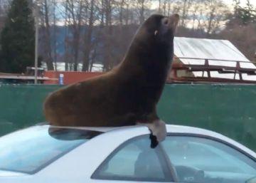 Un león marino en la baca del coche