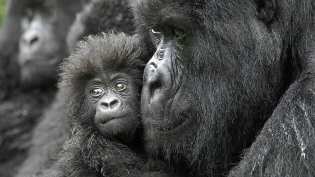 Los humanos van camino de extinguir a todos los demás primates