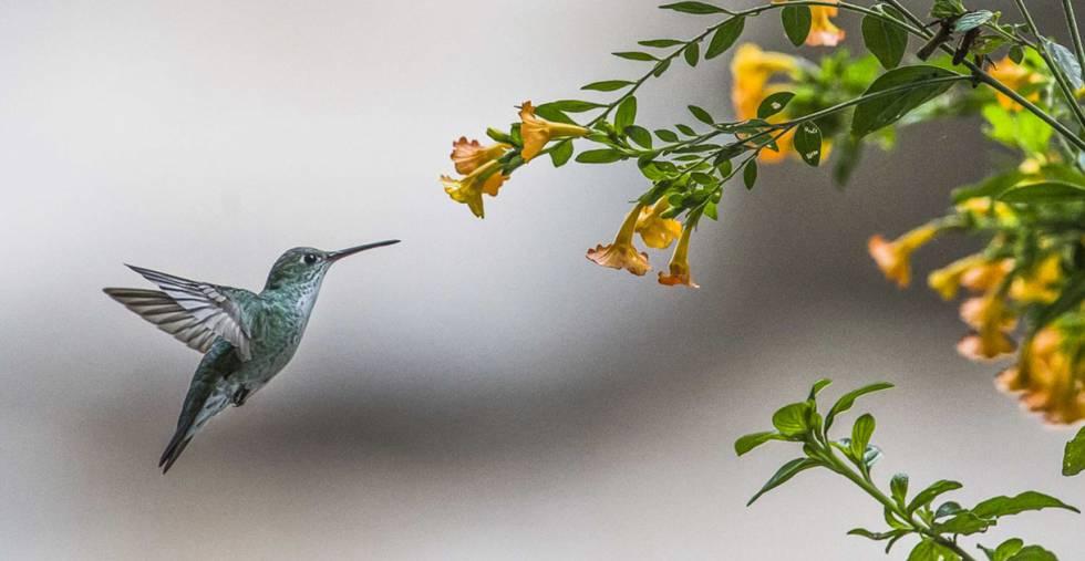 El colibrí, endémico de las Américas, es fundamental para polinizar algunas especies de flores.