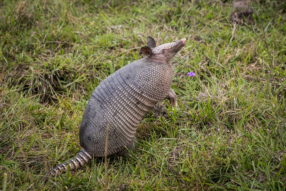 Armadillos are common in the area.