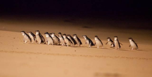 Pingüinos enanos.