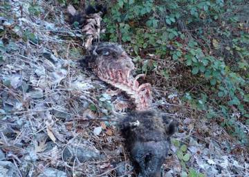 Second dead bear in four months found in northern Spain