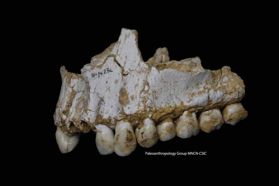 Mandíbula del neandertal de El Sidrón con restos de corteza de álamo.
