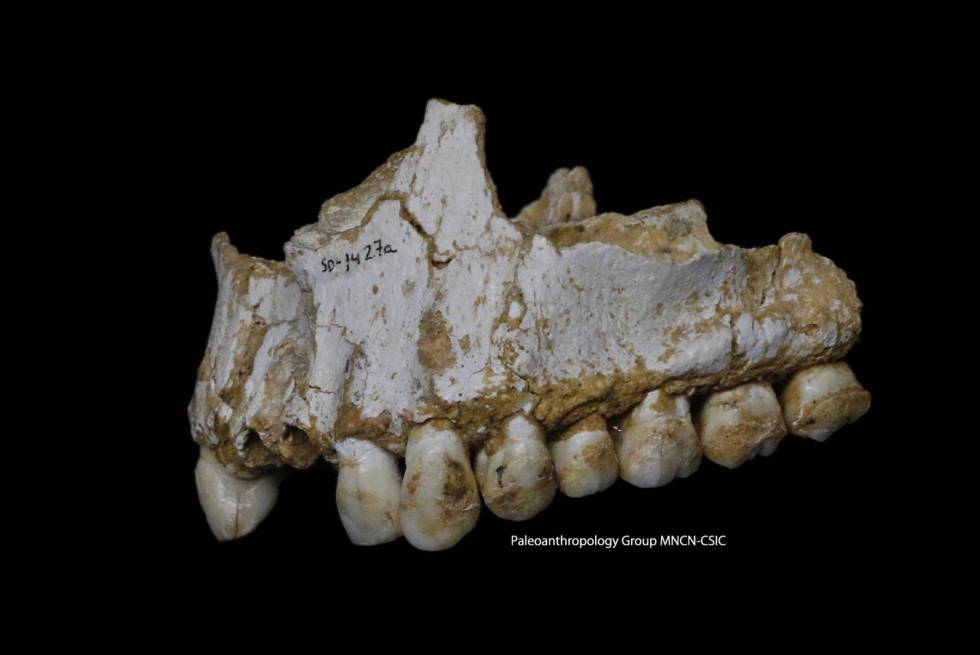 The jaw of the Neanderthal from the El Sidrón cave with poplar bark traces.