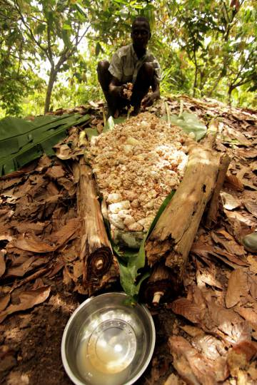 Cocoa plantations are at risk from rising temperatures.