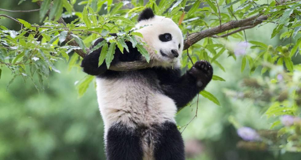 Por que os ursos panda são preto e branco?