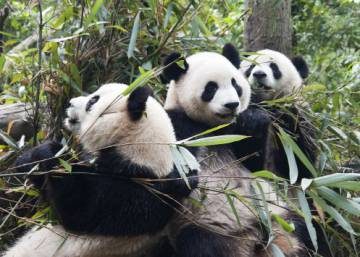 Como a China evitou a extinção do panda