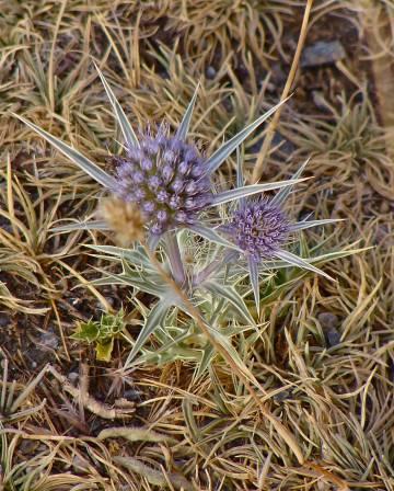 El 'Eryngium glaciale' es una de las especies endémicas de Sierra Nevada que se puede encontrar por encima de los 3.000 metros. Está hibridando con especies emparentadas como el cardo azul.