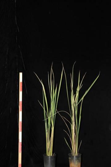 Dos plantas de la variedad transgénica. A la izquierda, una sin florecer. A la derecha, una con flores tras aplicar el agroquímico. Takeshi Izawa