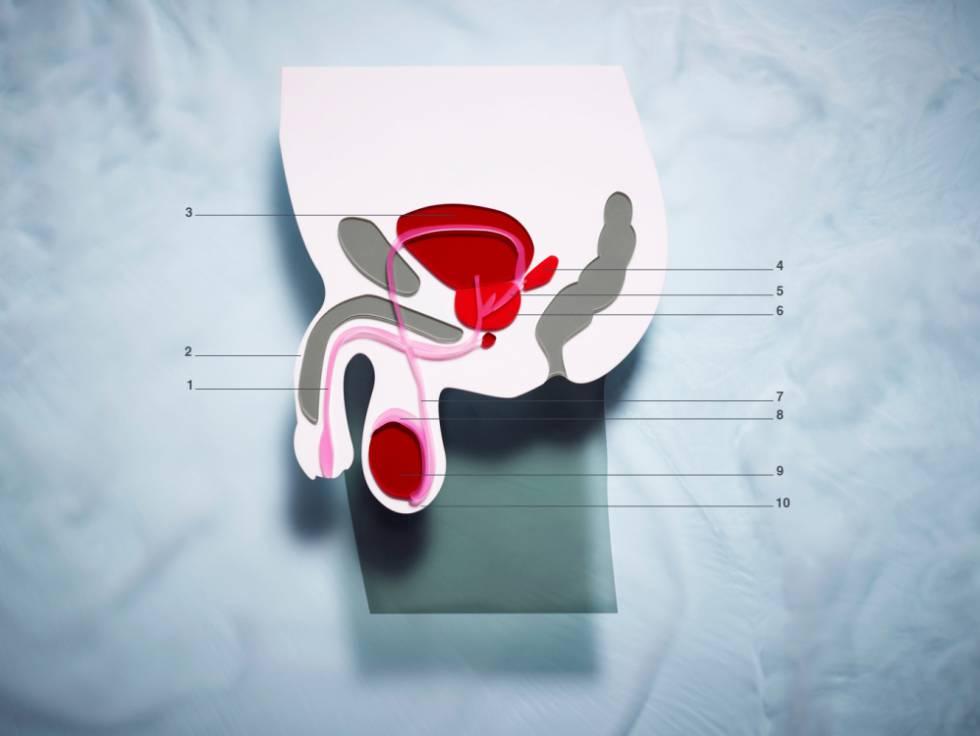 1) Uretra. 2) Pene. 3) Vejiga urinaria. 4) Vesícula seminal. 5) Conducto eyaculador. 6) Glándula de la próstata. 7) Conducto deferente. 8) Epidídimo. 9) Testículo. 10) Escroto