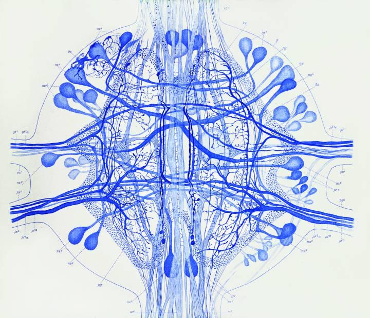 Dibujo realizado por Gustav Magnus Retzius (18421919). Sistema nervioso central de la sanguijuela (Biol. Untersuch. Neue Folge 2, 1-28, 1891). Tomada de 'El Jardín de la Neurología: Sobre lo bello, el arte y el cerebro' (BOE y CSIC, Madrid, 2014).