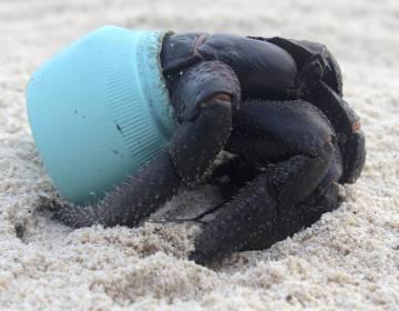Un cangrejo utiliza un pedazo de plástico como refugio, en 2015.