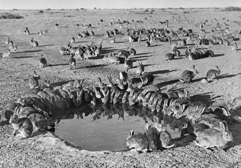 Los conejos fueron una plaga en Australia durante todo el siglo XX.