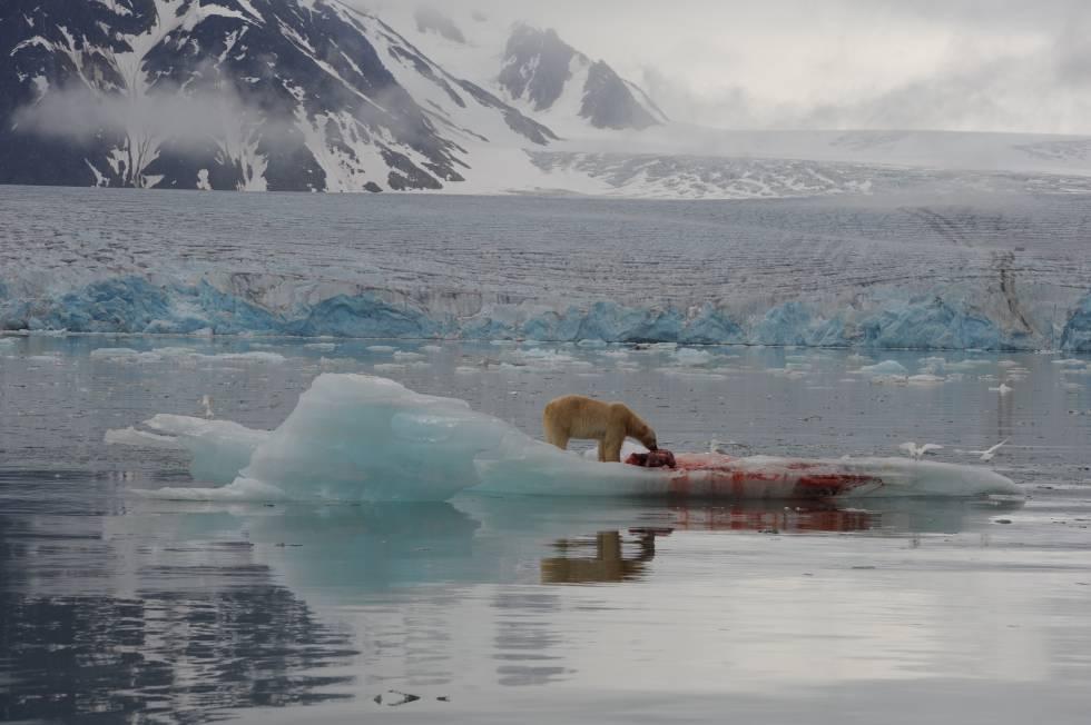 A los osos cada vez les cuesta más cazar focas, su principal sustento.