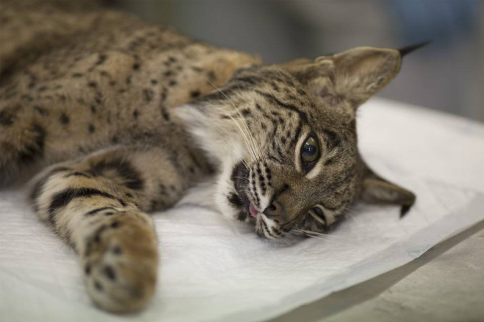 A lynx is sedated so that a collar can be fitted.