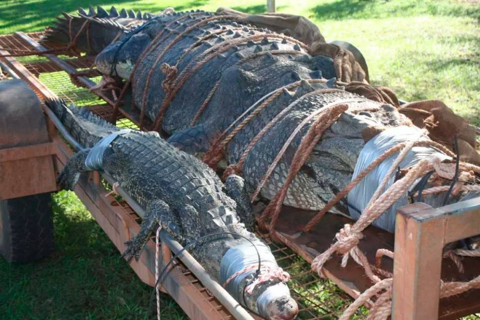 Capturan gigantesco cocodrilo en Australia de casi 5 metros y 600 kg