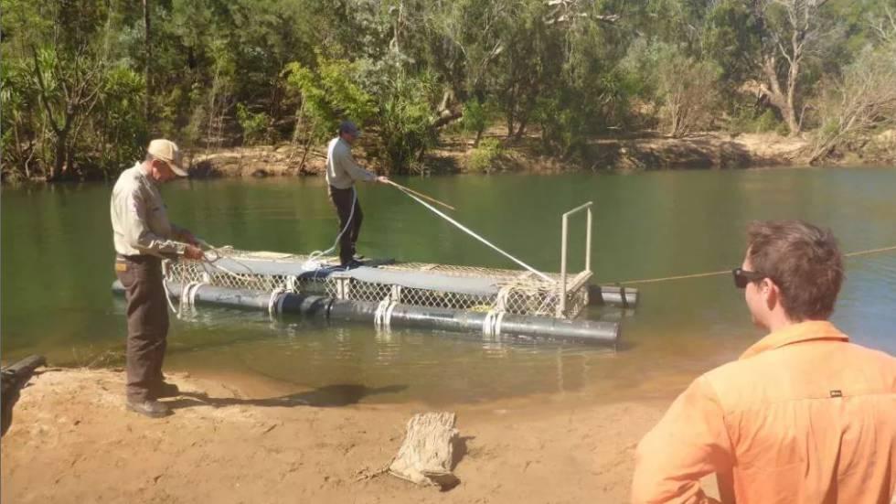 Guardabosques australianos capturan a cocodrilo de 600 kilos tras ocho años de búsqueda