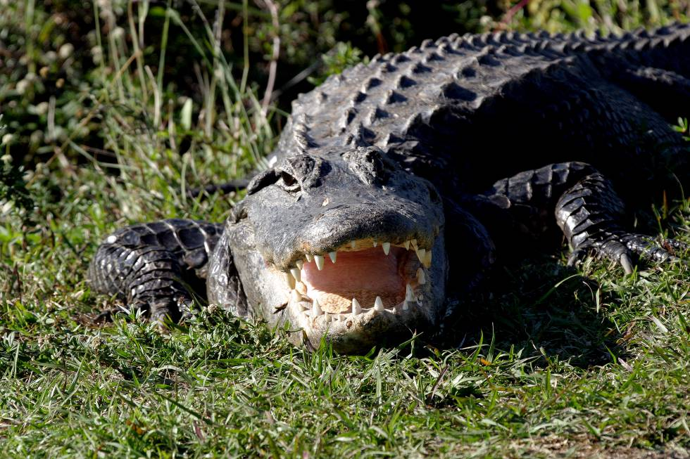 Mujer es devorada por cocodrilo mientras paseaba a su perro