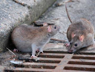 Hexbyte  Hacker News  Computers Two sewer rats.