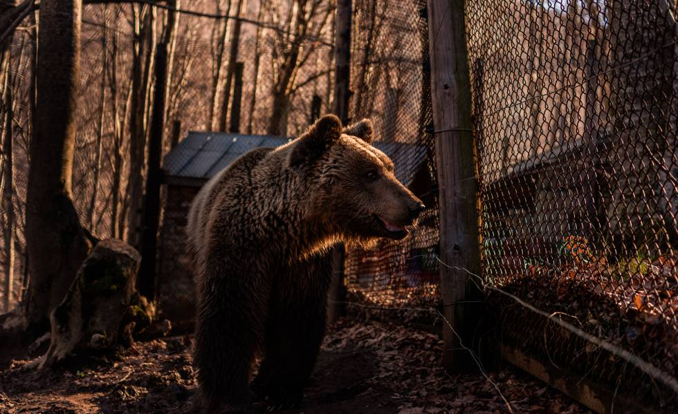 Manolis, uno de los osos del santuario cerca de la verja.