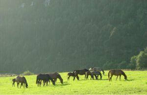 Caballos en la Yeguada Albéitar, en Villayón (Asturias).