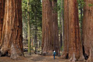 Un bosque de árboles gigantes en el parque Nacional de las Secuoyas y Kings Canyon, California.