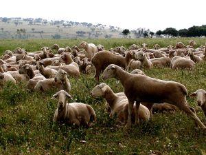 Ovejas descansando en la Cañada Real Soriana Oriental, en el valle de Alcudia.