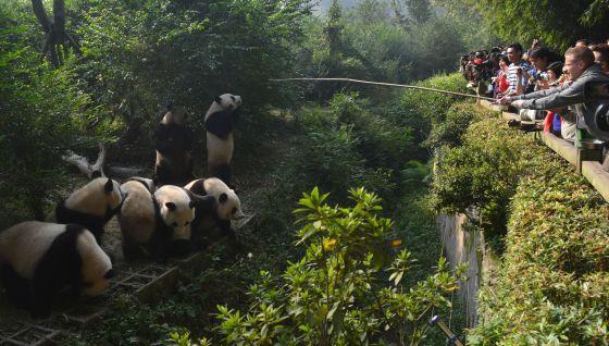 Chengdú, planeta panda