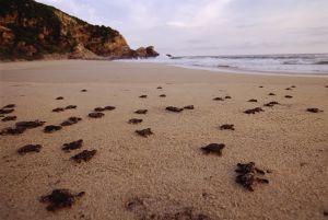 Tartarugas recém-nascidas na praia de Mazunte, em Oaxaca (México).