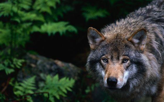 Un ejemplar de lobo gris en los Cárpatos, Rumanía