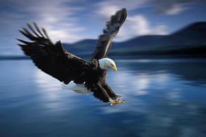 Un ejemplar de águila calva en la reserva forestal de Tongass, en Alaska (EE UU).