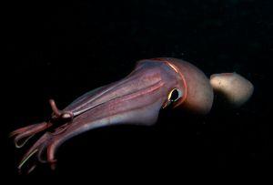 Un calamar de Humboldt, de noche, en el Golfo de California, en Baja California (Mexico).