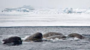 Un grupo de narvales en la región canadiense de Nunavut, al oeste de Groenlandia.